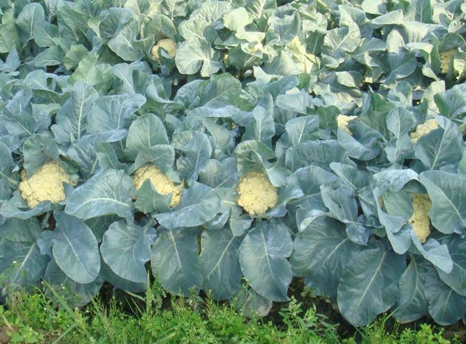 花菜种植基地