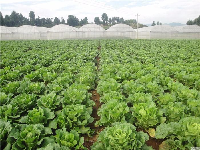 大白菜种植基地